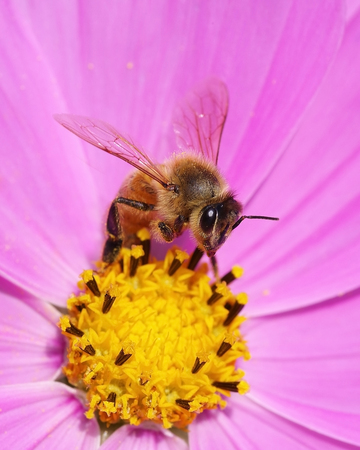 Bee on pink and yellow cosmos flower
