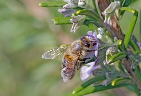 Bee on rosemary flower