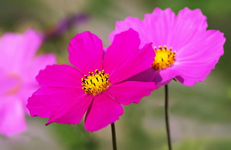 Pink Cosmos flowers in full sunlight