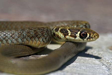Young Green Whip Snake from Italy (Hierophius viridiflavus)