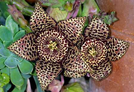 Orbea variegata, a foul smelling carrion flowers