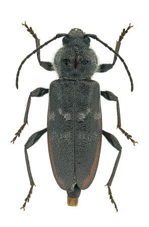 Old house borer (Hylotrupes bajulus) a pest woodborer originating from Europe Standard-Bild