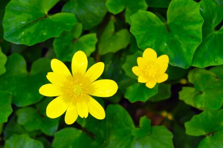 Flowers and leaves of lesser celadine or pilewort (Ficaria verna; formerly Ranunculus ficaria) Standard-Bild