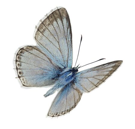 Macho azul Chalkhill (Polyommatus coridon) en vuelo