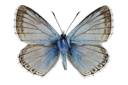 Chalkhill blue (Polyommatus coridon), male specimen