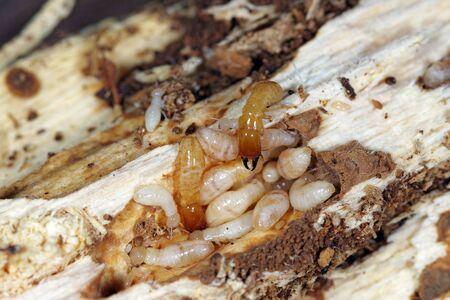 Termitas de madera seca de cuello amarillo (Kalotermes flavicollis), una plaga grave en los países mediterráneos Foto de archivo