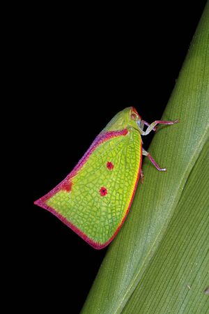 Carthaeomorpha rufipes, a planthopper from Costa Rica Standard-Bild