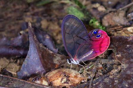 The blushing phantom (Cithaerias pireta), Nymphalidae Satyrinae, from Costa Rica Zdjęcie Seryjne