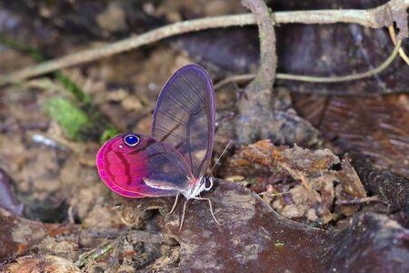 The blushing phantom (Cithaerias pireta), Nymphalidae Satyrinae, from Costa Rica Standard-Bild