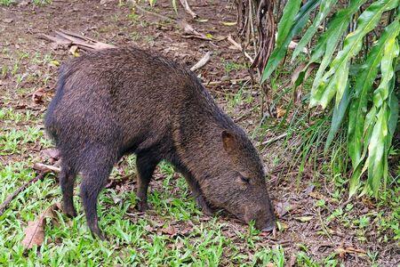 Collared peccary (Pecarui tajacu), from Costa Rica Zdjęcie Seryjne
