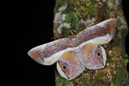 Opisthoxia bella (Geometridae), a moth from Costa Rica