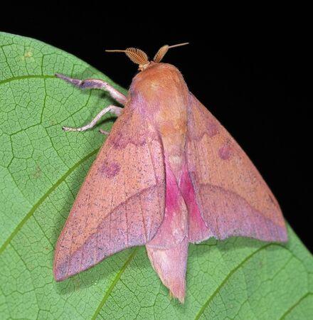 Adeloneivaia subangulata (Saturniidae), a silkmoth from Costa Rica Standard-Bild