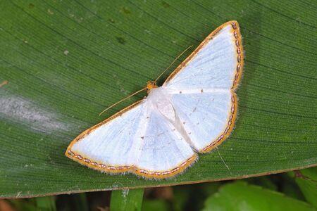 Leuciris fimbriaria (Geometridae) a small moth from Costa Rica
