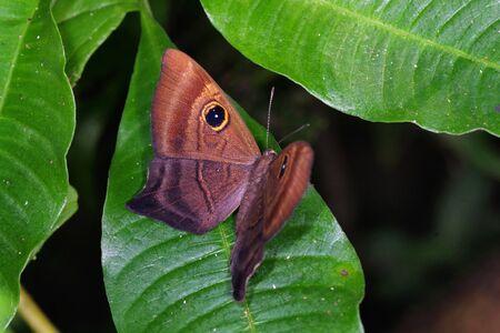Mesosemia grandis, female (Riodinidae) from Costa Rica