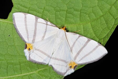 Opisthoxia saturniaria compta (Geometridae) a rare moth from Costa Rica
