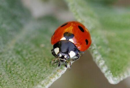 Seven-spot ladybird, Coccinella septempunctata Standard-Bild