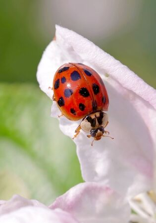 Harlequin or Asian ladybeetle (Harmonia axyridis), an asiatic species now invasive in many parts of the world