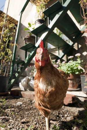 front view of a Hen standing on one leg Stock Photo - 8042591