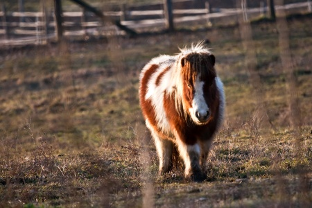 Shetland pony in a field with fence in the background  photo