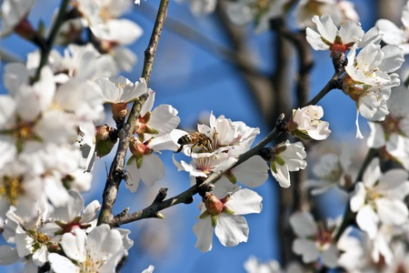 Bee gathering honey from flowers on almond tree photo