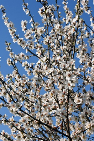 almond bud: branches of a blossoming almond tree Stock Photo
