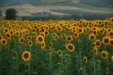 cultivos de girasol en Toscana al atardecer Foto de archivo - 9592310