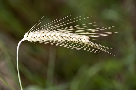 detail of a Wheat spike in a field photo