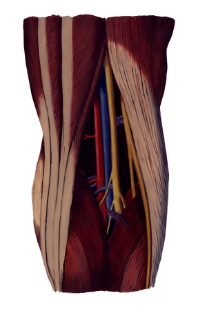 lower limb: popliteal fossa,  back of the knee joint illustration Stock Photo