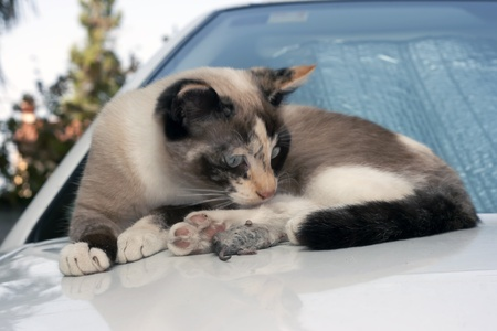 young female cat with a dead mouse photo