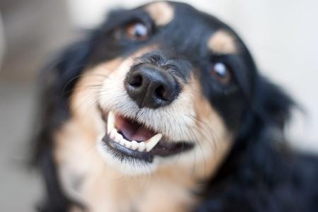 metis: cute metis dog, shallow depth of field Stock Photo
