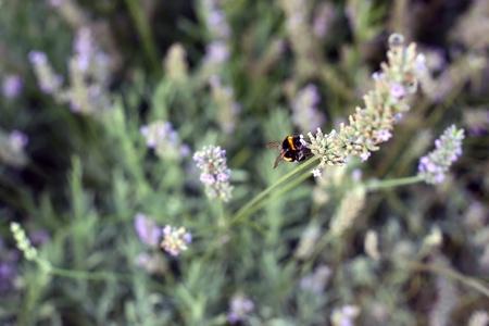 Bee on a Lavender flower in a field