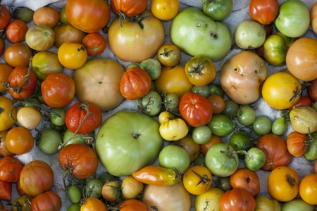 variety of organic tomatoes at different stages of growth Stock Photo - 11516339