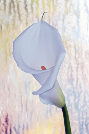 single calla lily on a beautiful background photo