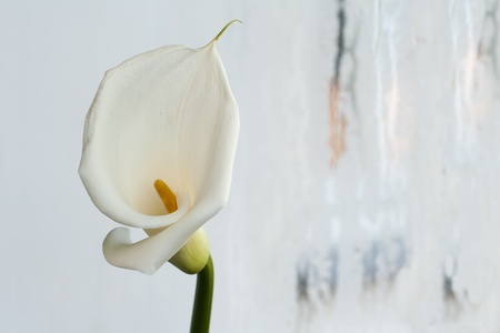 White Calla Lilly against a light background photo