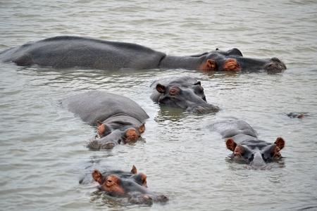 wildlife conservation: Hippopotamuses , Kruger Wildlife Conservation Area, South Africa