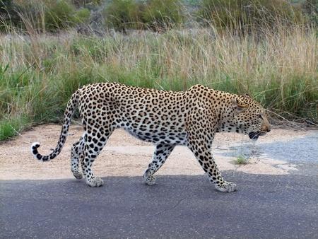 kruger national park: Big male leopard walking, side profile, Kruger National Park Stock Photo