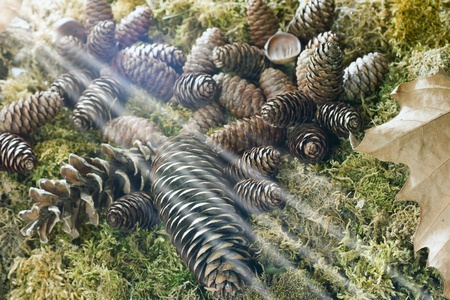 musk: pine cones seasonal composition with chestnuts and musk