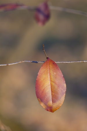 close up of a colorful single leaf in autumn  photo