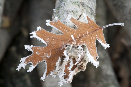 Quercus Rubra leaf in winter time covered with morning frost photo