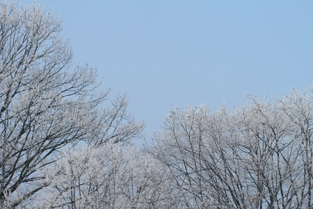 frost on oak trees in winter time photo
