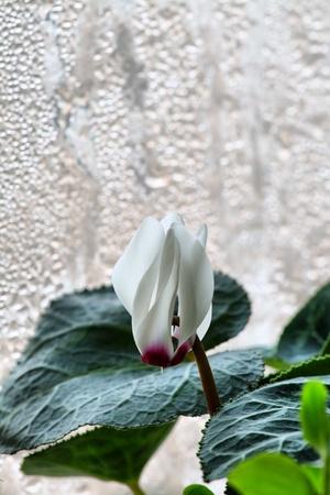 indoor shot: Primer plano Blanco Cyclamen, tiro bajo techo Foto de archivo