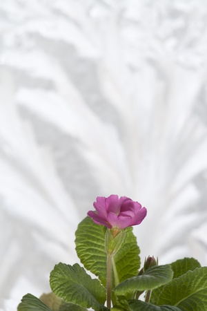cowslip: A pink primrose over a frozen windowglass background  Stock Photo
