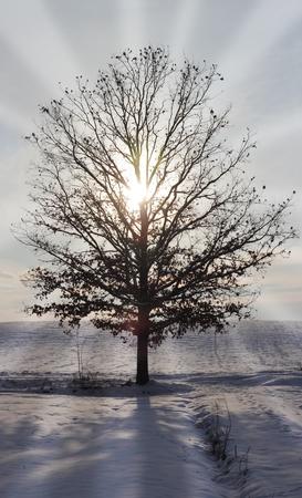 sun shining through an Oak tree Stok Fotoğraf