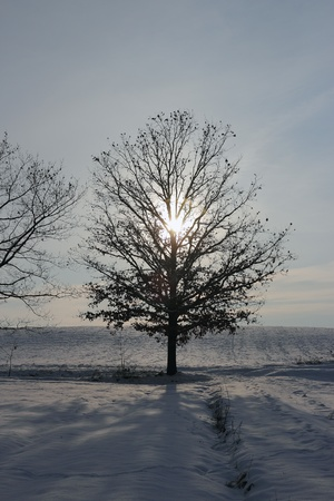 counrtyside covered with a layer of fresh snow , sun shining through an Oak tree photo