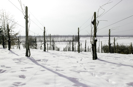 Vineyard covered in Snow, Piedmont , Italy photo