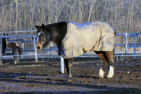 blanket horse: bay horse wearing a blanket in winter time