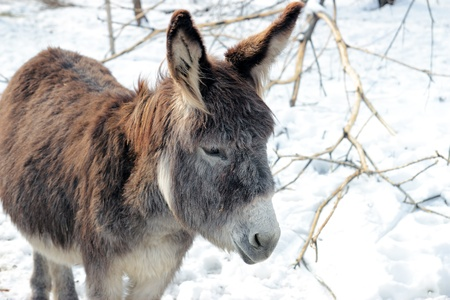 Furry donkey in a paddock in winter time