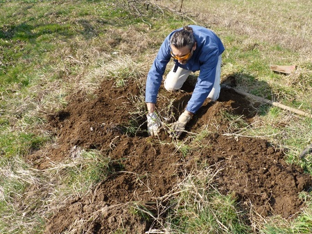transplantation: Mann die Arbeit im Garten auf einer Stachelbeere Transplantation