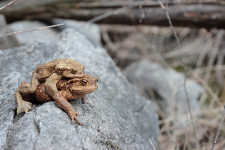 two toads in Love on a rock Stock Photo - 13059217