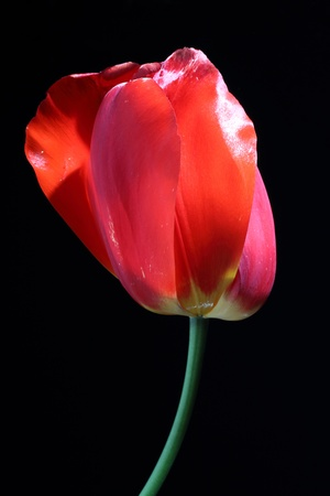bud of a red tulip on a black background Stock Photo - 13275694